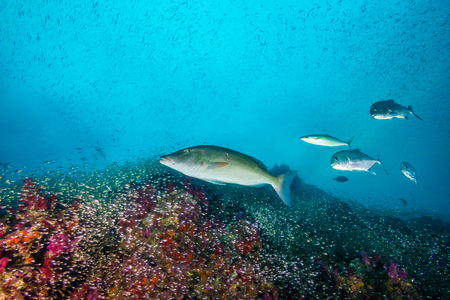 Long Nose Emperor fish on a colorful tropical coral reef Stock Photo