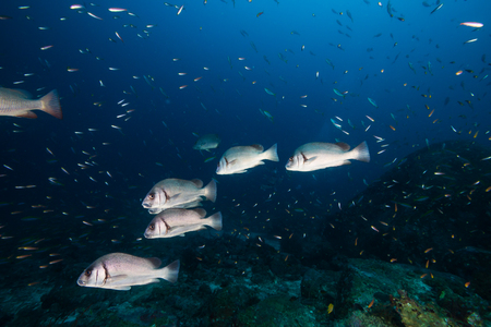 Large Snapper on a dark tropical coral reef at dawn Stock Photo