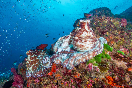 A pair of mating Octopus on a beautiful, colorful tropical coral reef at dusk