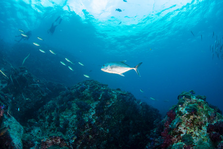 Large Trevally swimming above a murky, tropical coral reef