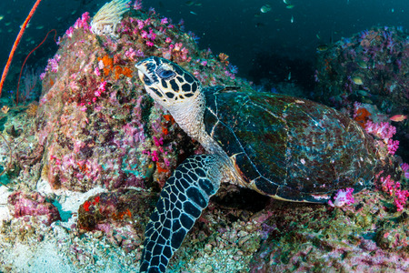 A hawksbill Sea Turtle on a dark, murky tropical coral reef in Myanmar
