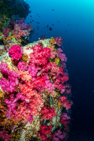 Beautiful, colorful but delicate soft corals on a tropical coral reef in Asia Stock Photo