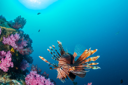 Colorful Lionfish patrolling a tropical coral reef at dusk