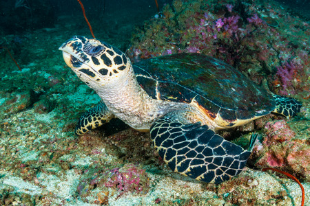 Hawksbill Sea Turtle on a dark, tropical coral reef at dawn Stock Photo