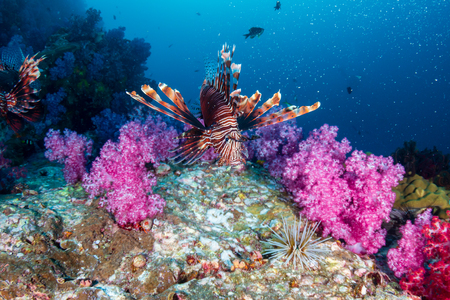 Beautiful Lionfish patrolling a colorful tropical coral reef in Myanmar Stock Photo