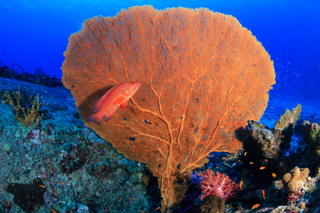 Brightly colored Coral Grouper (rock cod) on a tropical coral reef