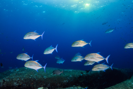 Trevally, Emperor and other predatory fish swimming over a tropical coral reef