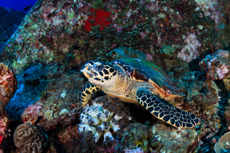 A curious Hawksbill Sea Turtle on a tropical coral reef Stock Photo