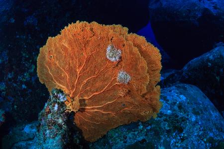 A gorgonian seafan on a deep, dark tropical coral reef