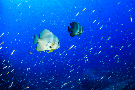 Large, beautiful Batfish (Spadefish) in blue water on a tropical coral reef
