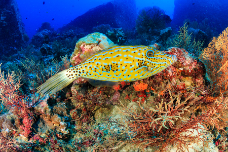 A beautiful Filefish swimming over a colorful tropical coral reef at Koh Tachai island, Thailand