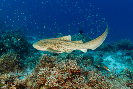 A beautiful Zebra (Leopard) Shark on the sea floor near a tropical coral reef in Asia