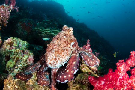 A large Octopus hunting out in the open on a tropical coral reef at dawn (Richelieu Rock, Thailand)