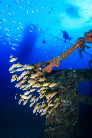 Beautiful and colorful tropical fish swimming around an old, rusting, coral encrusted shipwreck in a tropical ocean