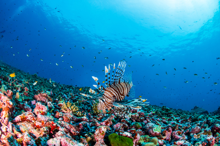 Predatory Lionfish hunting on a dark tropical coral reef in Thailand