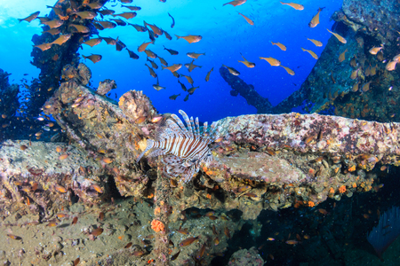Predatory Lionfish patrolling an old, rusting shipwreck in a tropical ocean