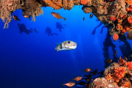 A large Puffer Fish and other colorful tropical fish swimming around an old, coral encrusted shipwreck in a tropical ocean