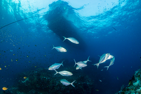 Trevally and other predatory fish hunting above a colorful tropical coral reef