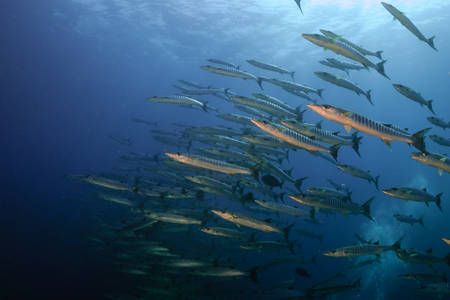 A large school of Barracuda patrolling a blue water ocean above a tropical coral reef