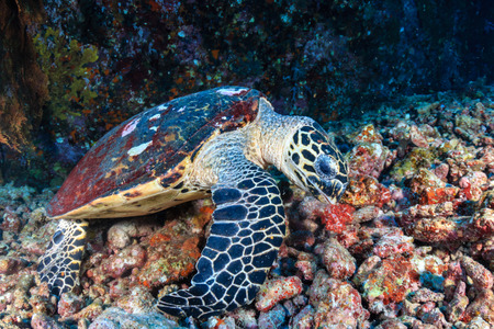 A friendly Hawksbill Sea Turtle feeding on soft corals on a tropical coral reef at sunrise