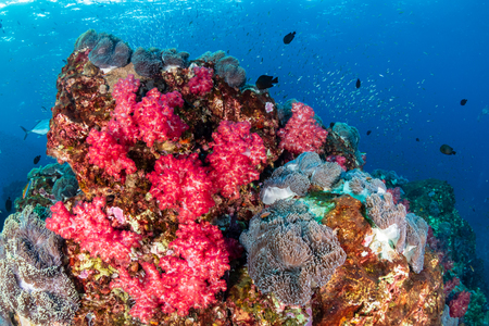 A beautiful, colorful and healthy tropical coral reef in Asia
