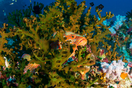 A Coral Grouper hiding on a tropical coral reef