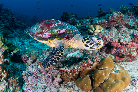 A Hawksbill Sea Turtle on a dark tropical coral reef