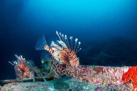 Colorful Lionfish hunting on a tropical coral reef Stock Photo
