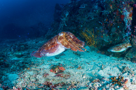A beautiful Pharaoh Cuttlefish on a tropical coral reef Stock Photo