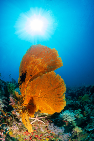Beautiful Gorgonian Seafans on a vibrant, colorful tropical coral reef