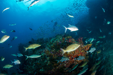 Long nosed Emperor and Trevally hunting together in a pack on a tropical coral reef