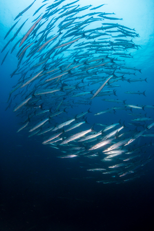 A swirling ball of Schooling Barracuda patrolling the ocean above a tropical coral reef 写真素材