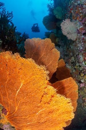 SCUBA divers above huge colorful Gorgonian Seafans on a tropical coral reef Reklamní fotografie