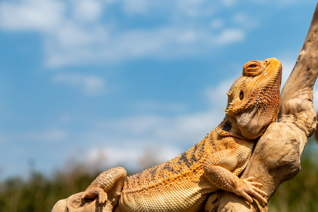 A relaxed Bearded Dragon lizard basking in the sunshine on an outdoor tree branch