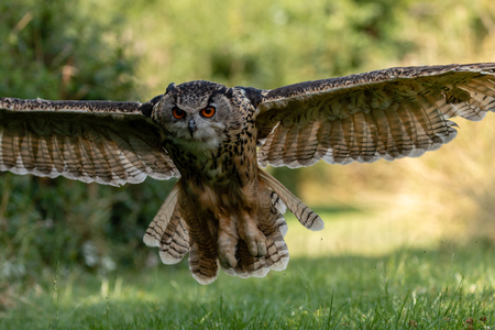 A majestic eagle owl swooping low over a green, grassy field