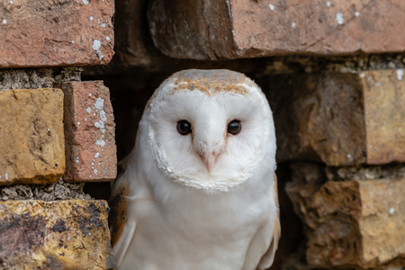 A cute little Barn Owl hiding in a hole in a brick wall