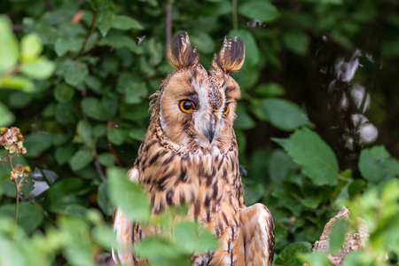 A curious looking Long Eared Owl perched in a tree in a forest