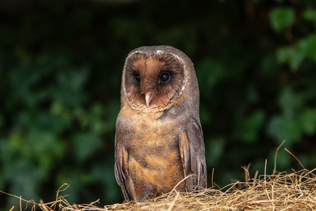 A unusual dark colored Barn Owl on a pile of hay in a farm Фото со стока