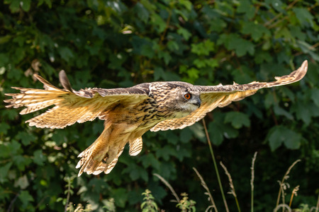 A huge Eagle Owl flying low over dense green foliage on a sunny day