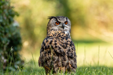 A large Eagle Owl running on the ground across green grass Фото со стока