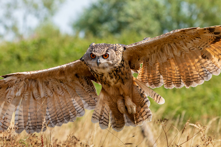 A huge, majestic Eagle Owl flying low over a yellow, dry field in summertime Stok Fotoğraf