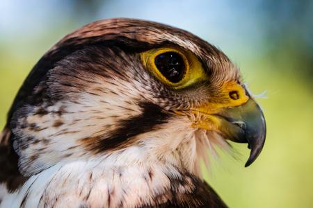 Closeup of a beautiful Peregrine Falcon on a perch