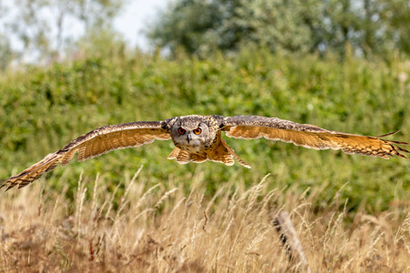 A huge, majestic Eagle Owl flying low over a yellow, dry field in summertime Фото со стока
