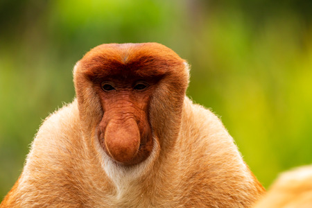 Portrait of a wild Proboscis Monkey in the rainforest of Borneo 免版税图像