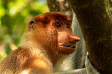 Portrait of a wild Proboscis Monkey in the rainforest of Borneo Banco de Imagens