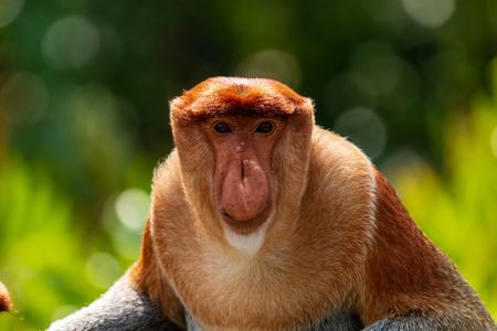 Portrait of a wild Proboscis Monkey in the rainforest of Borneo 版權商用圖片