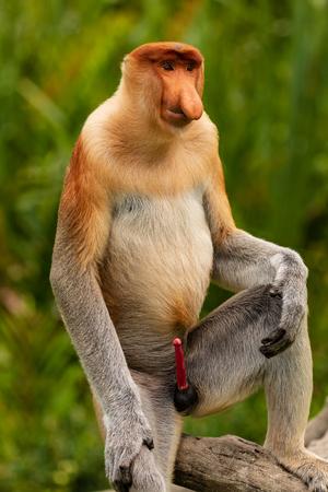 Portret dzikiej małpy trąba w lesie deszczowym Borneo Zdjęcie Seryjne