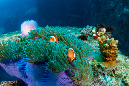 Family of cute Clownfish in a colorful anemone on a tropical coral reef Stockfoto