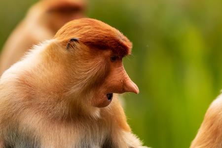 Close-up portrait of a Female Proboscis Monkey in Borneo