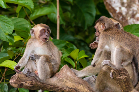 A family of Crab Eating Macaque monkeys in the rainforest of Sabah